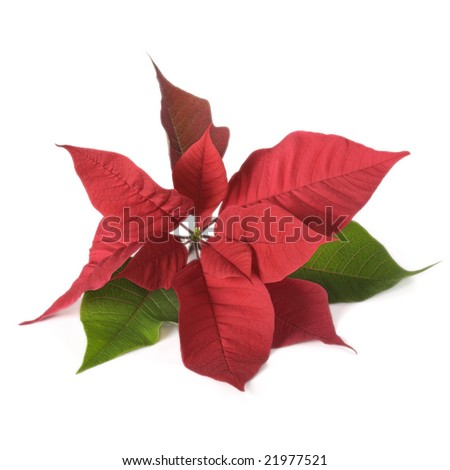 Red poinsettia on white background