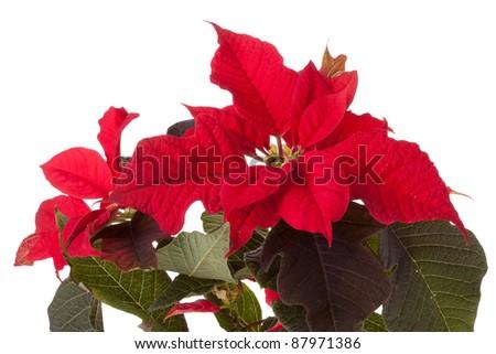 Red poinsettia on white background - stock photo