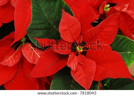 Red Poinsettia with green leaves - christmas flower - stock photo