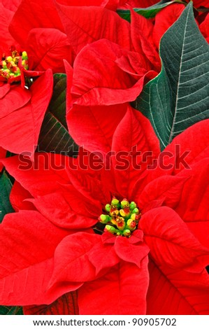 Red Poinsettia with green leaves. Christmas flower. - stock photo