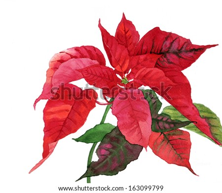 Red  Poinsettia with Green Leaves.Watercolor Illustration