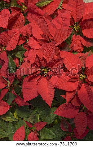 red poinsettias - stock photo