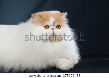 Red point Persian lying down on black background  - stock photo