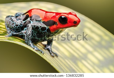 red poison arrow frog, beautiful macro of a tropical animal living in the Amazon rainforest of Peru. A poisonous amphibian often kept as an exotic pet in a rain forest terrarium. - stock photo