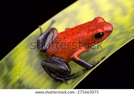 red poison arrow frog, Dendrobates pumilio from the tropical rain forest of Costa Rica kept in a rainforest terrarium as a pet animal - stock photo