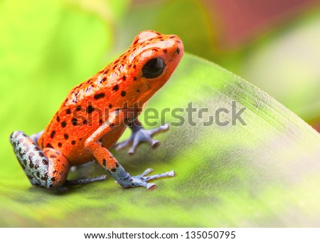 red poison arrow frog on leaf. Oophaga pumilio, an amphibian of the tropical rainforest in Panama. A beautiful poisonous animal. Bahia Grande morph. - stock photo