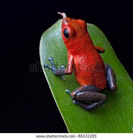 red poison dart frog blue legs beautiful rainforest species of costa rica and panama kept as a pet in a terrarium ,oophaga pumilio exotic amphibian - stock photo