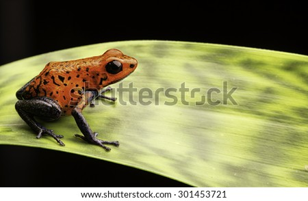 red poison dart frog Costa rica and Nicaragua. Beautiful poisonous animal from the central american tropical rain forest. Macro exotic amphibian - stock photo