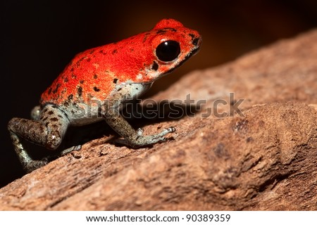 red poison dart frog of tropical rainforest near border of Panama and Costa rica poisonous animal with bright warning colors - stock photo