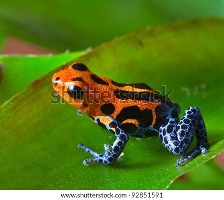 red poison dart frog sitting on green leaf in amazon rain forest of Peru exotic tropical  poisonous animal with warning colors rainforest Dendrobates, ranitomeya imitator - stock photo