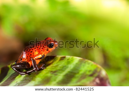 red poison dart frog sitting on leaf with copy space. Exotic rain forest animal with bright vivid colors. Untamed tropical nature. Jewel of the rainforest Dendrobates pumilio. - stock photo