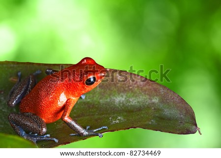 red poison dart frog sitting on leaf with copy space. Exotic rainforest animal bright vivid colors. dartfrog  in tropical rain forest. Oophaga pumilio, strawberry frog.  amphibian of jungle in Panama - stock photo