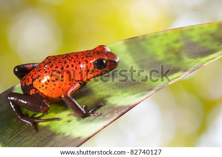 red poison strawberry frog on leaf in tropical jungle of Panama and Costa Rica. Beautiful bright colors background with copy space. Animal kept as pet in a terrarium. Amphibian of exotic rainforest. - stock photo