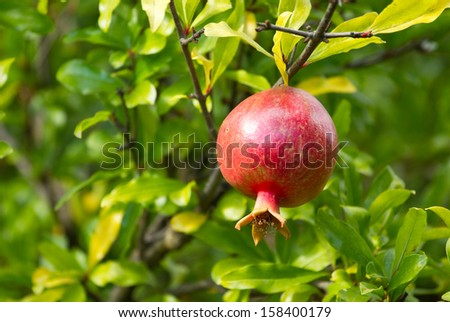 Red pomegranate on a tree