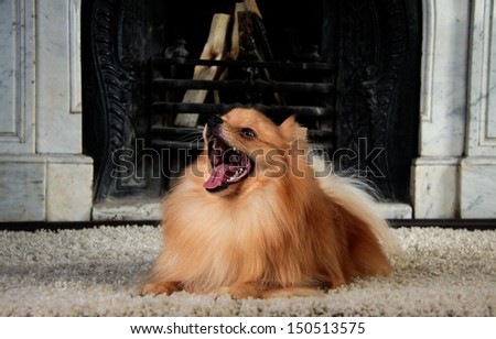 red Pomeranian in the interior