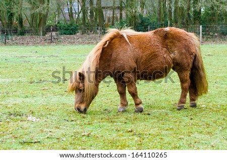 red pony at pasture, nibbling grass