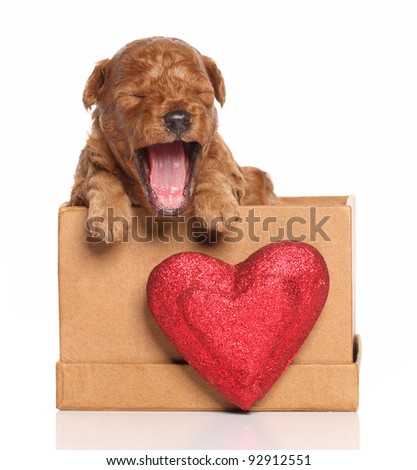 Red Poodle pup (second week) yawns in a box with a red heart on a white background - stock photo