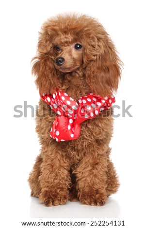 Red poodle puppy sits in red white peas scarf on a white background - stock photo