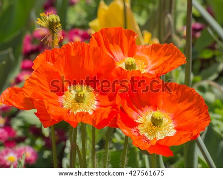 Red poppie on the field - stock photo