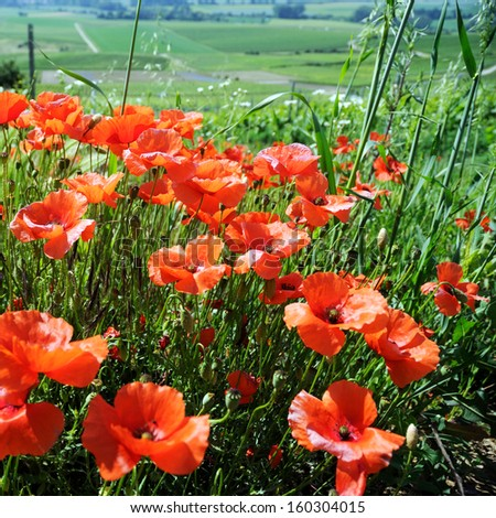 Red poppies and green vineyards - stock photo