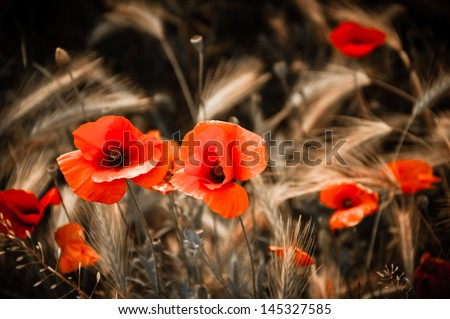 Red poppies and wheat spikes. Vintage background. Selective focus. Retro style postcard. - stock photo