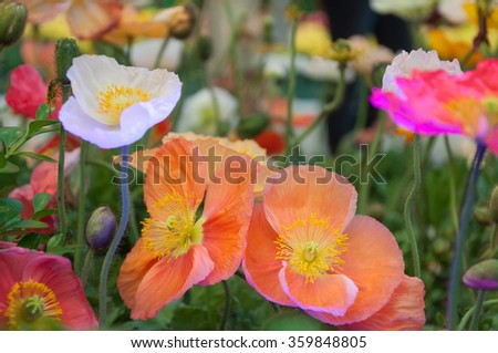 Red poppies as a natural floral background