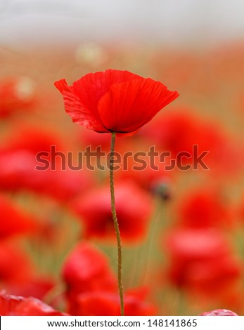 Red poppies blooming in the wild meadow - stock photo