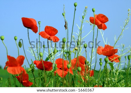 Red Poppies, Blue Sky - stock photo