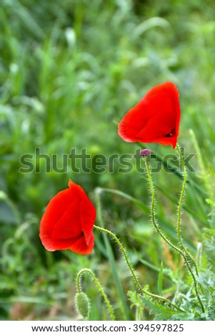 Red poppies (common names: common poppy, corn poppy, corn rose, field poppy, Flanders poppy, red poppy, red weed, coquelicot) blooming on field. - stock photo
