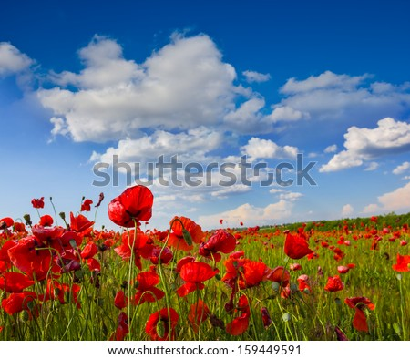red poppies field - stock photo