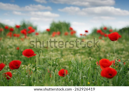 red poppies flowers field spring season - stock photo