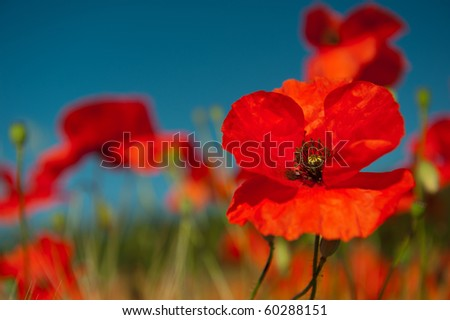 Red poppies flowers in the agriculture fields - stock photo