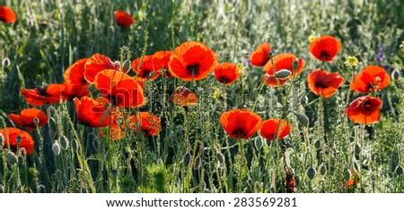 Red poppies growing in a spring field - stock photo