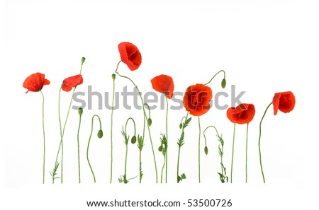 Red poppies in a row. Isolated on white background. - stock photo