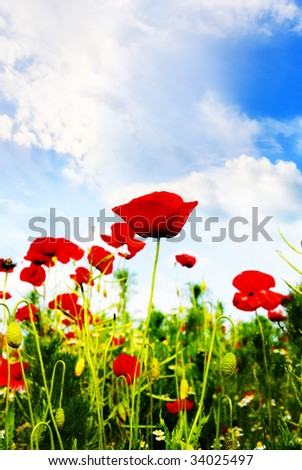 red poppies in a summer day with blue sky
