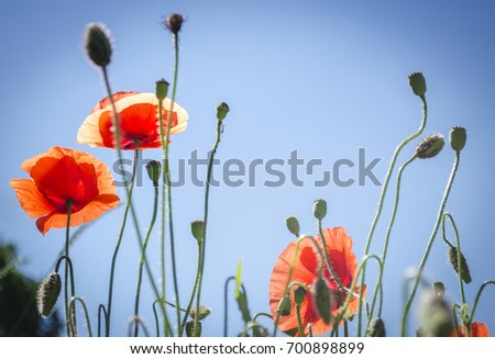 Red poppies in flowering season against the blue sky