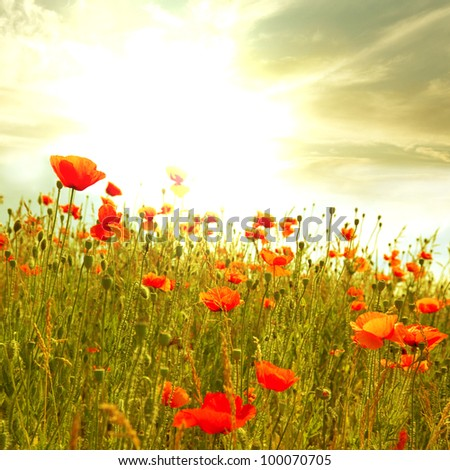red poppies in green field - stock photo