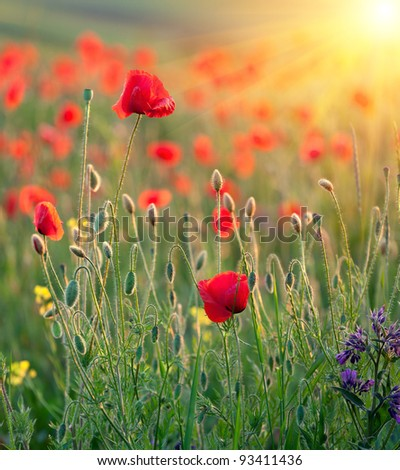 Red poppies in rays of the sun - stock photo
