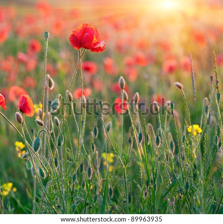 red poppies in rays sun - stock photo