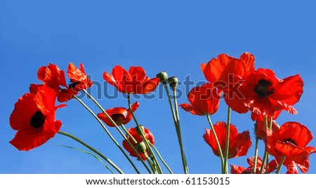 Red poppies in the blue sky