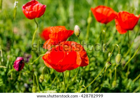 Red poppies in the green grass