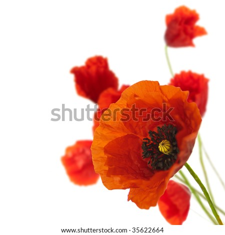 red poppies isolated on a white background in the corner of a page - Floral border - stock photo