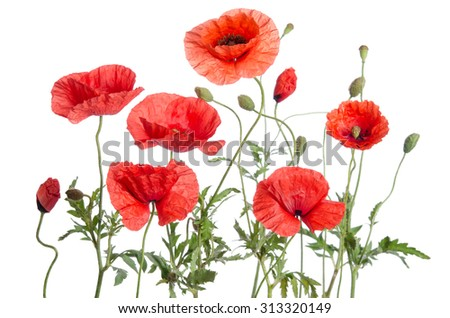 red poppies isolated on white background