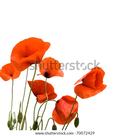 Red poppies. Isolated on white background. - stock photo