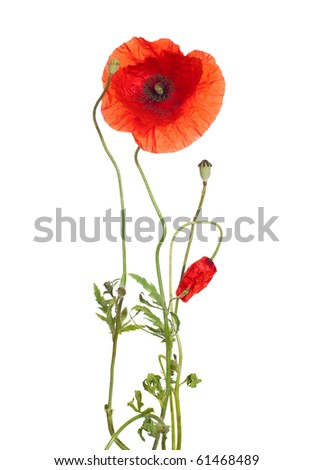 red poppies  isolated  on white. studio shot - stock photo