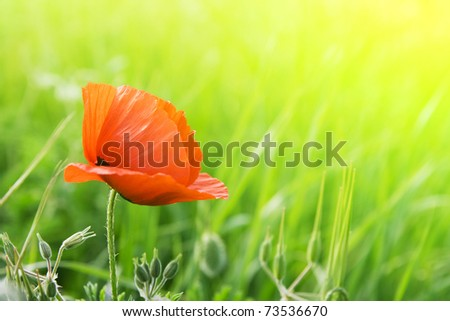 Red poppies on a background of green grass in the sunshine - stock photo