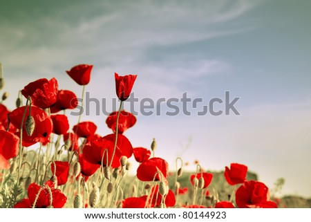 Red poppies on a background of sky with clouds - stock photo