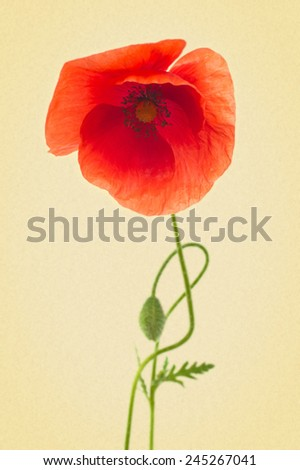 red poppies on a white background. Picture in retro style - stock photo