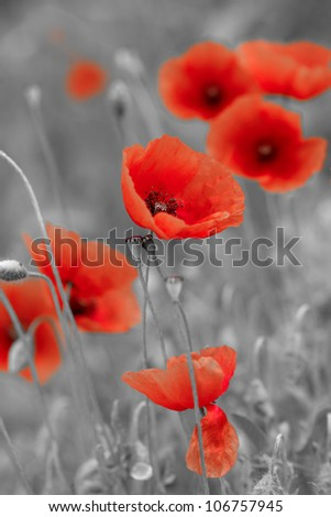 red poppies on b/w field - stock photo