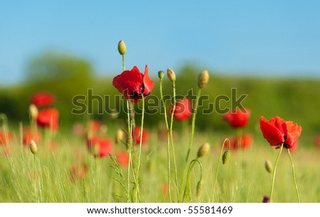 Red poppies on green wheat field under blue sky. Close-up shot. - stock photo